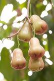 Pomme de Rose Photographie stock