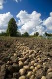 Pomme de terre. Images libres de droits