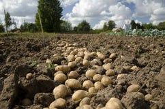 Pomme de terre. Photos libres de droits