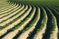 Pomme de terre d'agriculture photographie stock libre de droits