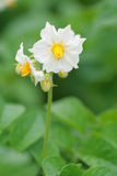 Pomme de terre de floraison. photos stock