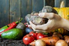 Pomme de terre du pays organique dans des mains d'agriculteur avec l'autre récolte sur l'au sol de sol image stock