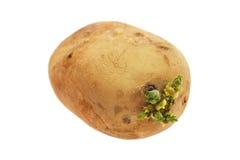 Pomme de terre germant Image stock