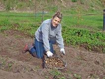 Pomme de terre moissonnant 3 photos stock