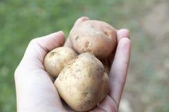 Pomme de terre organique Photographie stock libre de droits