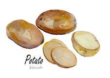 Pomme de terre Peinture tirée par la main d'aquarelle sur le fond blanc Photo stock