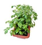 Tomates rouges dans des pots sur le balcon image libre de - Arrosage pomme de terre ...