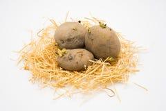 Pomme de terre sur le nid avec le tir blanc d'isolement de fond dans le studio image stock