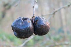 Pomme deux décomposée noire sur l'arbre d'hiver photographie stock