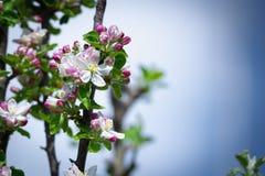 Pomme fleurissante Photographie stock libre de droits