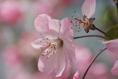 Pomme fleurissante chinoise Photos stock