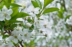Pomme fleurissante de ressort Photo stock