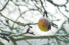 Pomme gâtée qui n'est pas tombée, dans la neige Images stock