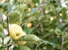 Pomme jaune sur un jeune arbre Photographie stock libre de droits
