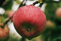 Pomme juteuse mûre rouge couverte de rosée accrochant sur la branche images libres de droits
