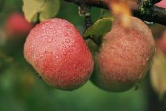 Pomme juteuse mûre rouge couverte de rosée accrochant sur la branche images stock