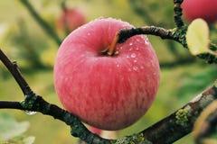 Pomme juteuse mûre rouge couverte de rosée accrochant sur la branche photos stock