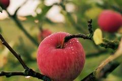 Pomme juteuse mûre rouge couverte de rosée accrochant sur la branche photos libres de droits
