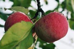Pomme juteuse mûre rouge couverte de rosée accrochant sur la branche image libre de droits