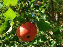 Pomme mûre et rouge sur une branche photos stock