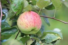 Pomme mûre Photographie stock libre de droits
