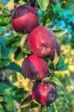 Pomme mûre et juteuse photographie stock
