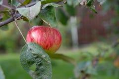 Pomme mûre s'élevant sur une branche photographie stock