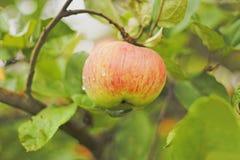 Pomme mûre sur un arbre : Domestica de Malus Images libres de droits