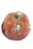Pomme putréfiée Image libre de droits