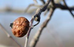 Pomme putréfiée très vieille sur une branche Images stock