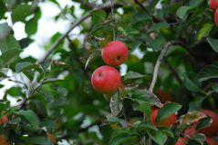 Pomme red delicious Photo libre de droits