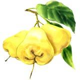 Pomme rose fraîche de trois fruits jaunes avec des feuilles sur la branche d'isolement, illustration tirée par la main d'aquarell Photos libres de droits