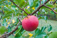 Pomme rouge dans le jardin Photo stock