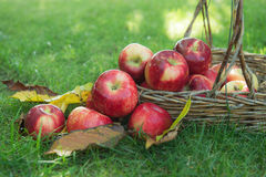 Pomme rouge dans un panier Photos libres de droits
