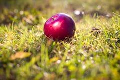 Pomme rouge fraîche sur l'herbe saine de ressort (la couleur a modifié la tonalité l'image/ Images libres de droits