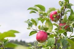 Pomme rouge fraîche sur une branche Foyer sélectif Profondeur de f images libres de droits