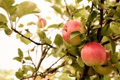 Pomme rouge fraîche sur une branche Foyer sélectif Profondeur de f image stock