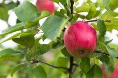Pomme rouge fraîche sur une branche Foyer sélectif Profondeur de f images stock
