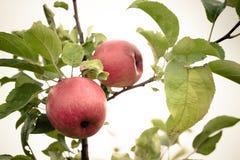 Pomme rouge fraîche sur une branche Foyer sélectif Profondeur de f photo libre de droits