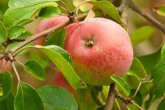 Pomme rouge juteuse sur un arbre Image stock