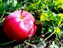 pomme rouge lumineuse sur l'herbe verte photos libres de droits