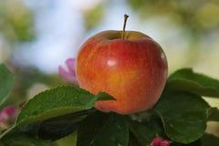 Pomme rouge sur des feuilles de pommier Photographie stock