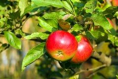 Pomme rouge sur le branchement avec la lame verte Photo stock