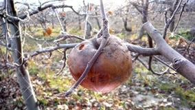 Pomme rouge surgelée dans l'arbre Photos stock