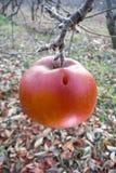 Pomme rouge surgelée dans l'arbre Photographie stock