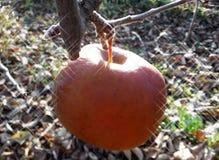 Pomme rouge surgelée dans l'arbre Photographie stock libre de droits