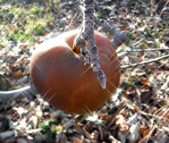 Pomme rouge surgelée dans l'arbre Photo libre de droits