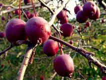 Pomme sauvage sur l'arbre Photos stock