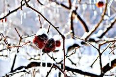 Pomme surgelée d'hiver images stock