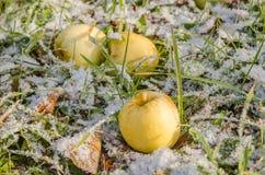 Pomme tardive Photos libres de droits